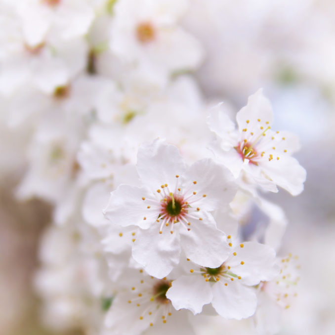 Flower of spring white tree. Nature composition.